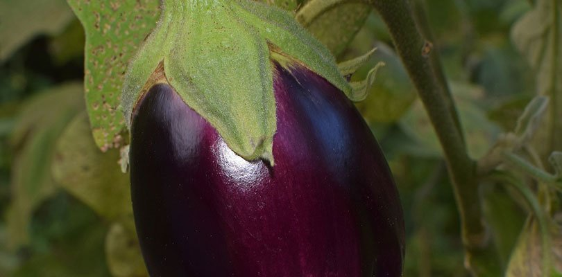 Patlıcan Sapı Neye İyi Gelir