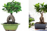Ginseng bonsai bakımı