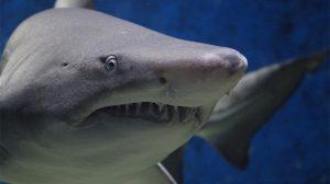 Köpekbalığı kıkırdağı faydaları