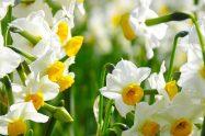 Nergis çiçeği çoğaltma