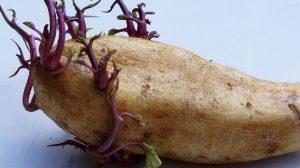 filizlenmiş patates