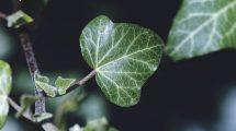Sarmaşık tohumu nasıl ekilir